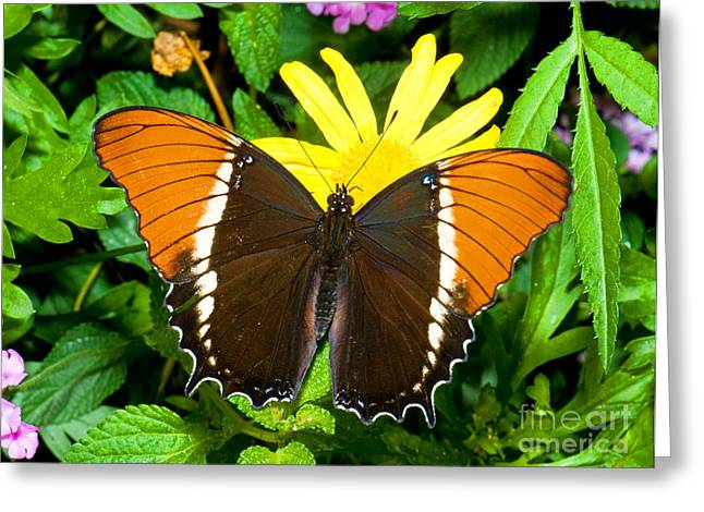 Animals And Insects Greeting Cards - Rusty-tipped Page Butterfly Greeting Card by Millard H. Sharp