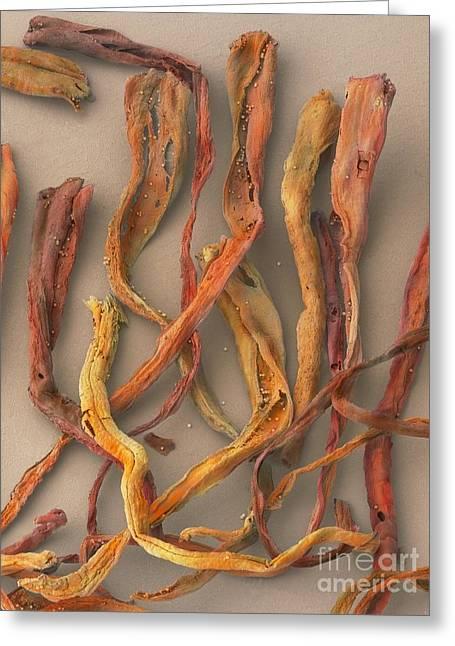 Stigma Greeting Cards - Saffron, Sem Greeting Card by Cheryl Power