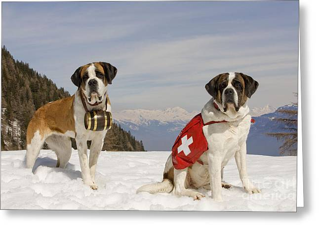 Working Dog Greeting Cards - Saint Bernards Greeting Card by Jean-Michel Labat
