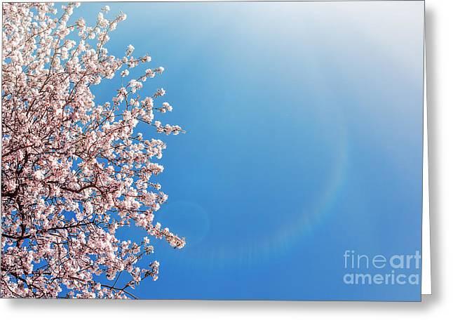 Apricot Greeting Cards - Sakura Pink Flowers Greeting Card by Aleksey Tugolukov