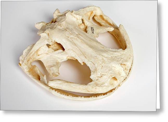 Salamander Skull Model Greeting Card by Ucl, Grant Museum Of Zoology