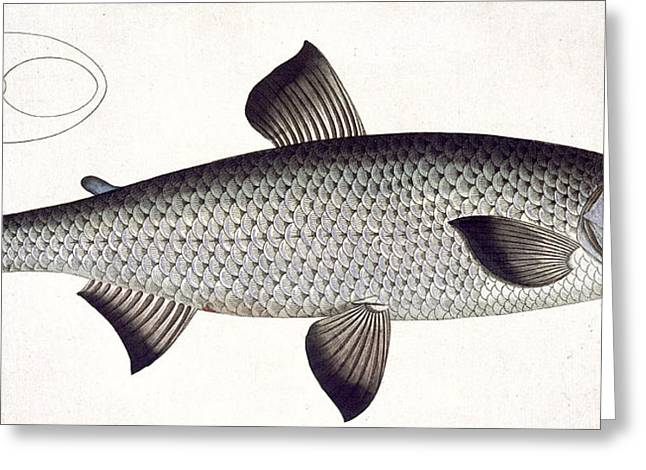 Angling Drawings Greeting Cards - Salmon Greeting Card by Andreas Ludwig Kruger