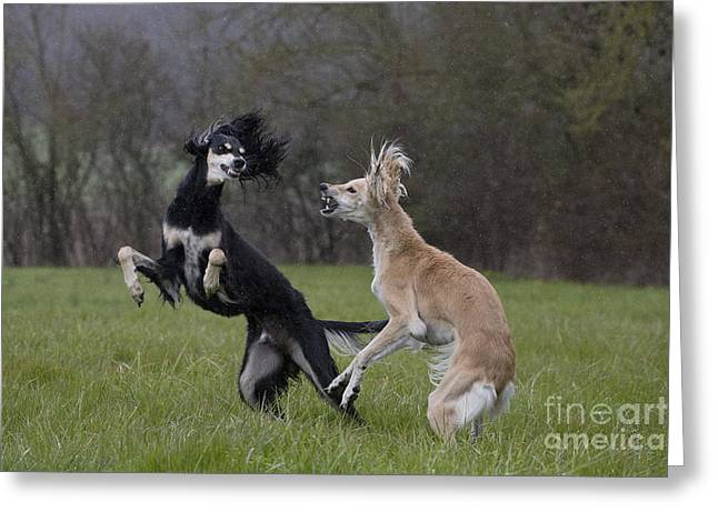 Hounds Tooth Greeting Cards - Salukis Fighting Greeting Card by Jean-Michel Labat