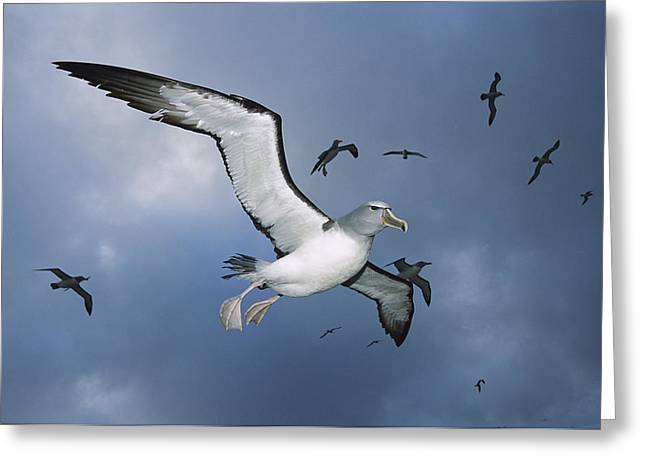 Proclamation Greeting Cards - Salvins Albatrosses Bounty Islands Greeting Card by Tui De Roy