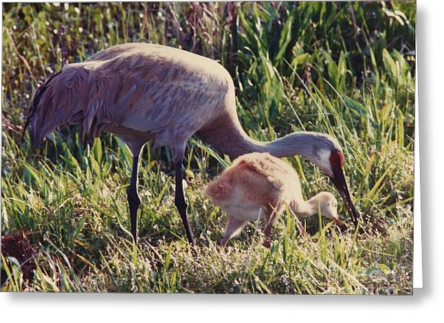 Meadown Greeting Cards - Sandhill Crane and Chick Greeting Card by D Hackett