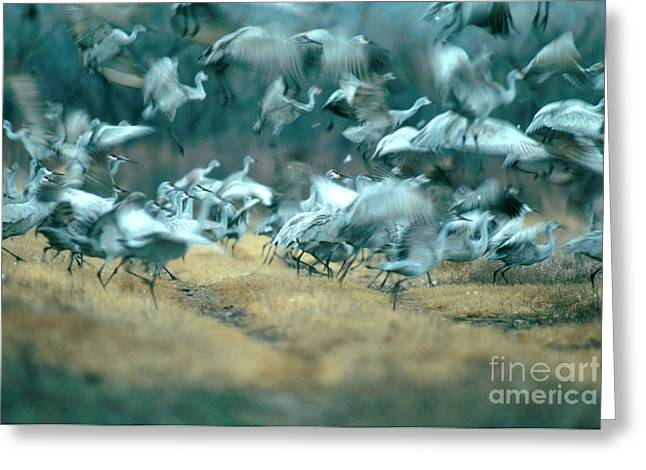 Crane Migration Greeting Cards - Sandhill Crane Grus Canadensis Greeting Card by Art Wolfe