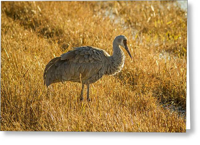 Water Fowl Greeting Cards - Sandhill Crane Greeting Card by Jean Noren