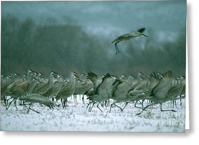 Sandhill Cranes Greeting Cards - Sandhill Cranes Greeting Card by Art Wolfe
