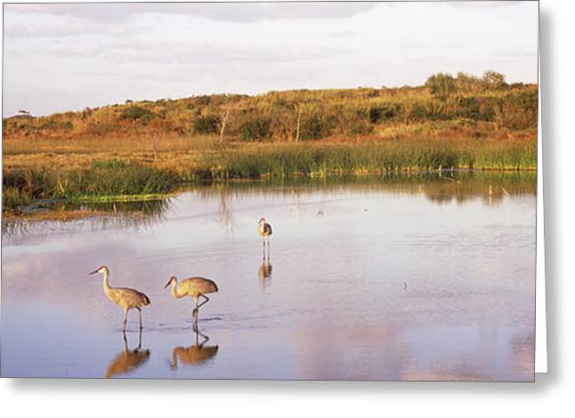 Sandhill Crane Greeting Cards - Sandhill Cranes Grus Canadensis Greeting Card by Panoramic Images