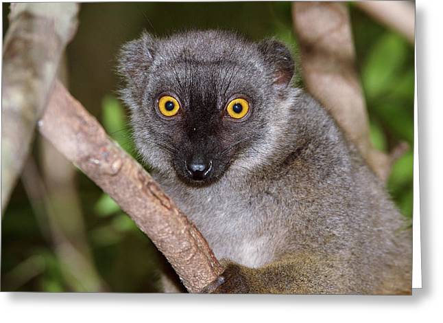 Sanford's Brown Lemur Female Greeting Card by Dr P. Marazzi