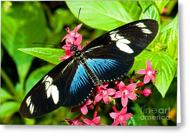 Animals And Insects Greeting Cards - Sara Longwing Butterfly Greeting Card by Millard H. Sharp