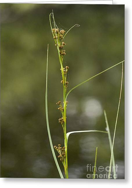 Saw Greeting Cards - Saw Sedge Cladium Mariscus Greeting Card by Bob Gibbons