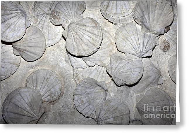 Marine Mollusc Greeting Cards - Scallop Fossils Greeting Card by Dirk Wiersma