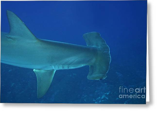 Wolves In Nature Greeting Cards - Scalloped Hammerhead sharks Greeting Card by Sami Sarkis