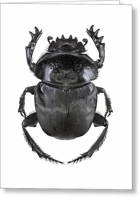 Scarab Greeting Cards - Scarab beetle Greeting Card by Science Photo Library