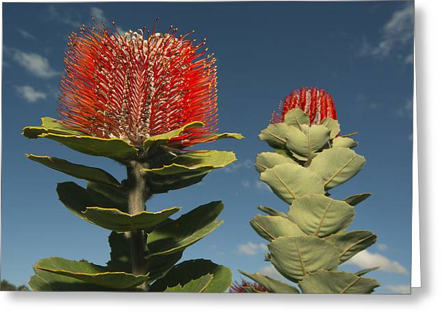 Proteaceae Greeting Cards - Scarlet Banksia Fitzgerald River Greeting Card by Kevin Schafer