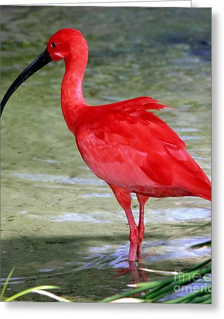 Jacksonville Greeting Cards - Scarlet Ibis Greeting Card by Millard H Sharp