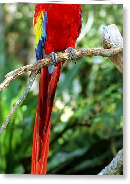 Scarlet Macaw Greeting Cards - Scarlet Macaw Greeting Card by Millard H Sharp