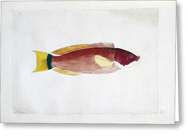 Reef Fish Greeting Cards - Scarlet Wrasse, 18th Century Greeting Card by Natural History Museum, London