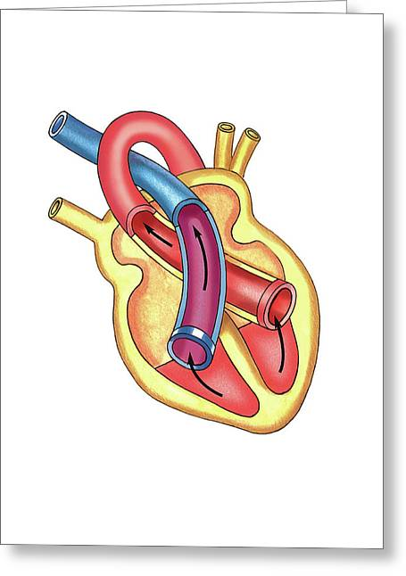 Schema Of Isotonic Systole Greeting Card by Asklepios Medical Atlas