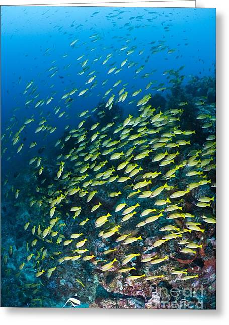 Snapper Greeting Cards - Schooling Snapper, Bangka, Sulawesi Greeting Card by Matthew Oldfield