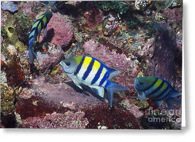 Scissor-tail Sergeant Fish Greeting Card by Georgette Douwma