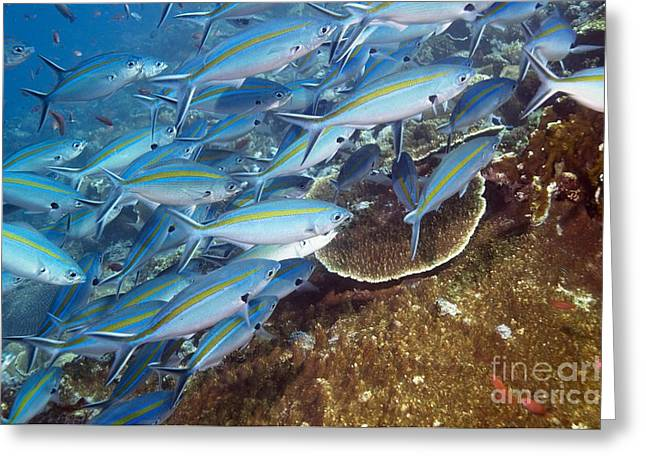 Fusilier Fish Greeting Cards - Scissor-tailed Fusilier Fish Greeting Card by Georgette Douwma