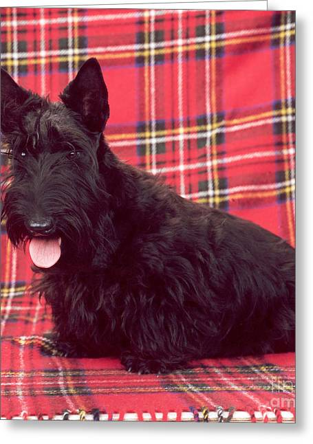 Scottie; Dog Greeting Cards - Scottish Terrier Greeting Card by John Daniels