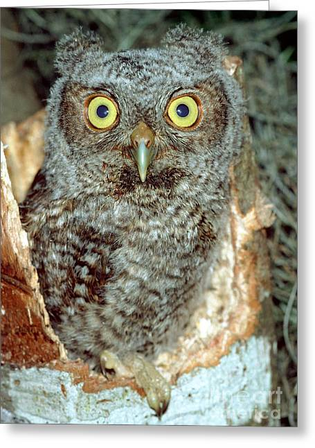 Baby Bird Greeting Cards - Screech Owl Chick Greeting Card by Millard H. Sharp