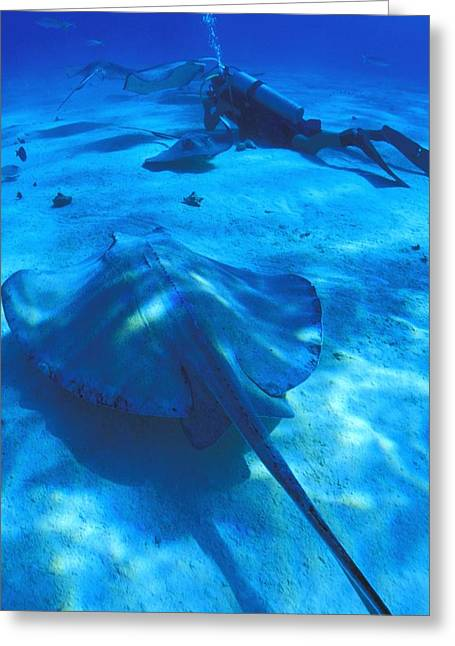 Southern Stingrays Greeting Cards - Scuba Divers On Ocean Floor With Sting Greeting Card by Carson Ganci
