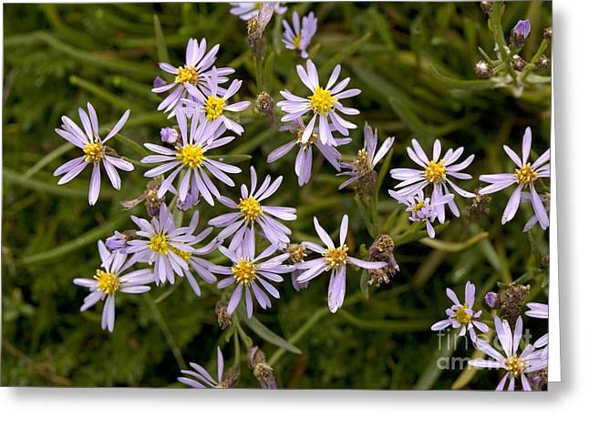 Asters Greeting Cards - Sea Aster Aster Tripolium Greeting Card by Bob Gibbons