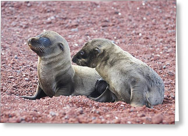 Sea Lions In The Ocean Greeting Cards - Sea Lion Pups on the Beach Greeting Card by Brian Kamprath