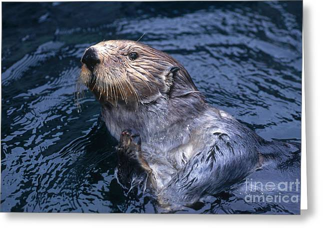 Otter Greeting Cards - Sea Otter Greeting Card by Art Wolfe