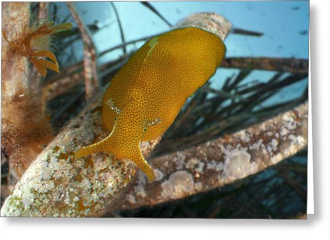Sea Slug Greeting Cards - Sea slug on seagrass Greeting Card by Science Photo Library