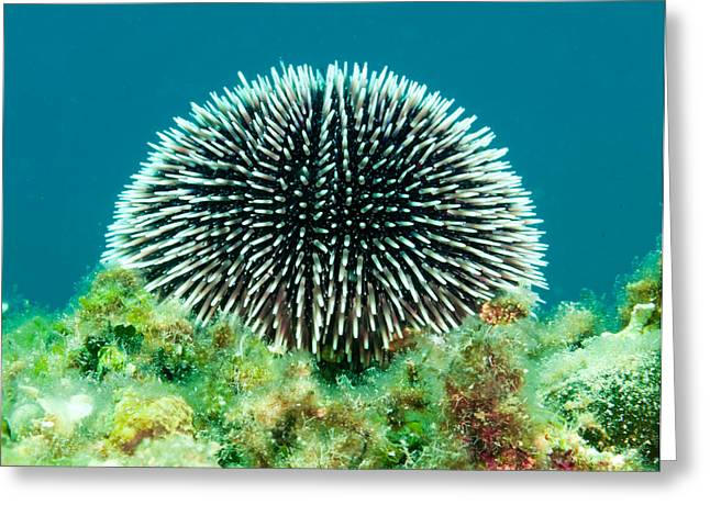 Pictures Sea Creatures Photographs Greeting Cards - Sea Urchin Greeting Card by Roy Pedersen