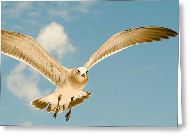 Flying Seagull Greeting Cards - Seagull in flight Greeting Card by Celso Diniz
