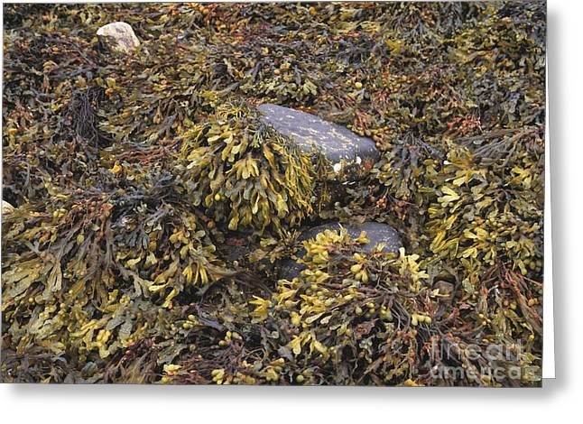 Dried Seaweed Greeting Cards - Seaweed Greeting Card by Michael Marten