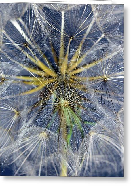 Seed Head Of Tragopogon Pratensis Greeting Card by Dr Jeremy Burgess
