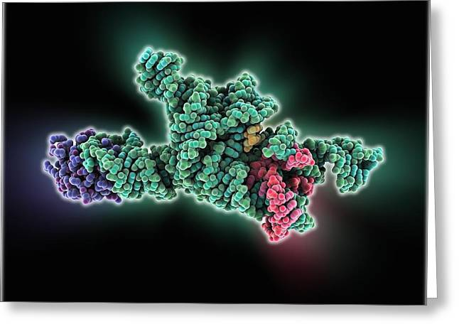 Rna Greeting Cards - Self-splicing RNA intron, molecular Greeting Card by Science Photo Library