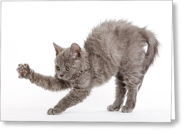Gray Hair Greeting Cards - Selkirk Rex Kitten Greeting Card by Jean-Michel Labat