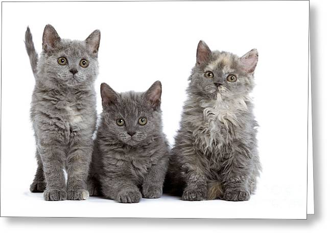 Gray Hair Greeting Cards - Selkirk Rex Kittens Greeting Card by Jean-Michel Labat
