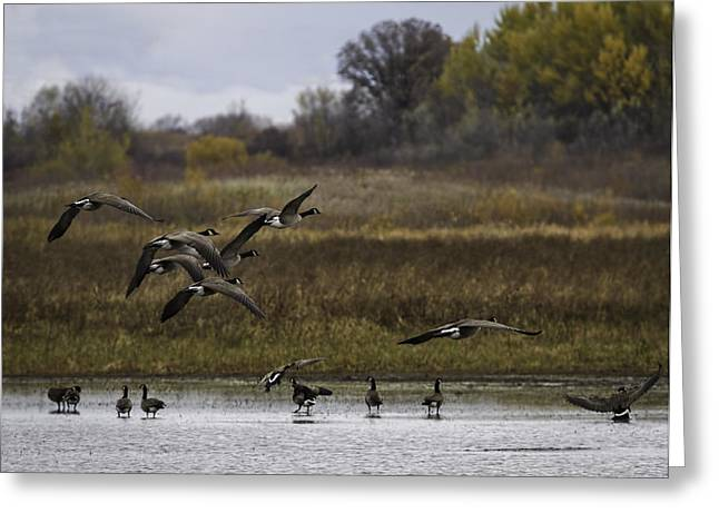 Geese Greeting Cards - Setting Down Greeting Card by Thomas Young