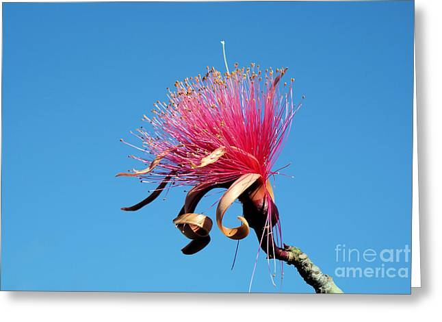 Best Sellers -  - Pinks And Purple Petals Photographs Greeting Cards - Shaving Brush Tree Greeting Card by Javier Correa