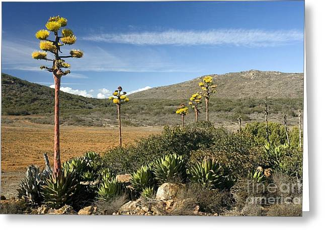 Desertification Greeting Cards - Shaws Agave Agave Shawii Greeting Card by Bob Gibbons