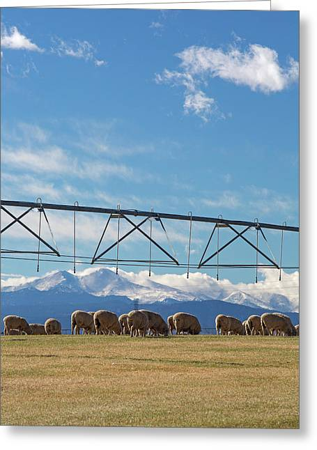 Sheep Grazing Under An Irrigation Boom Greeting Card by Jim West