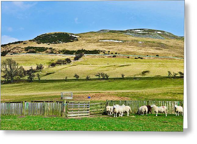Mystic Lakes Greeting Cards - Sheep in meadow Greeting Card by Tom Gowanlock