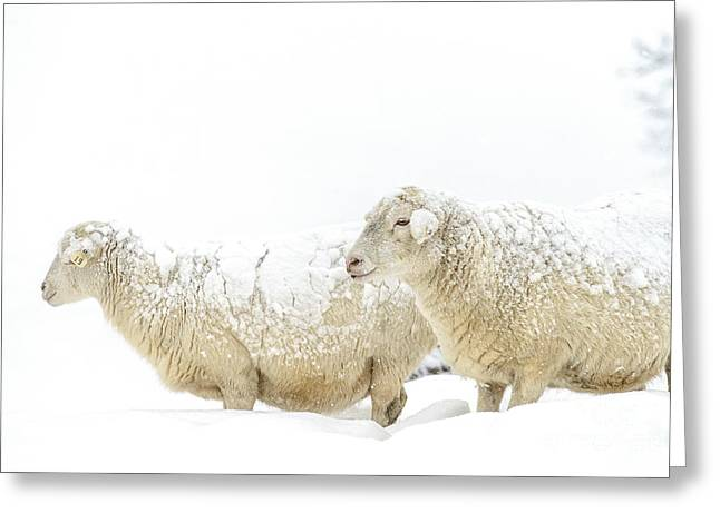 Allegheny Greeting Cards - Sheep in Snow Greeting Card by Thomas R Fletcher