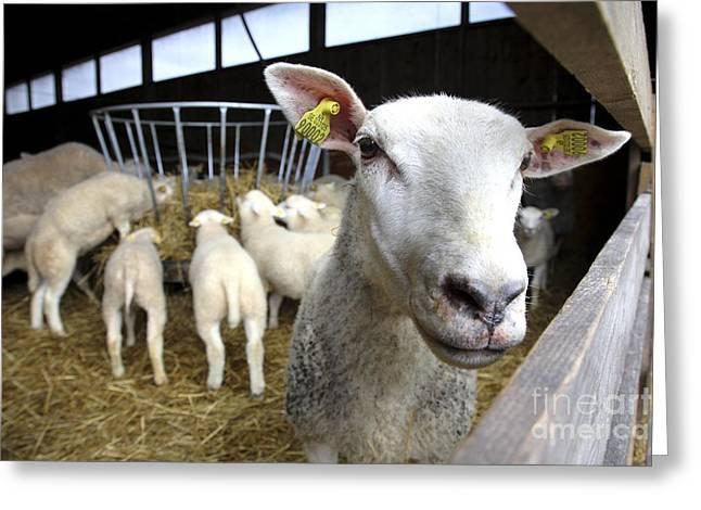 Ear Tags Greeting Cards - Sheep On A Farm Greeting Card by Bjorn Svensson