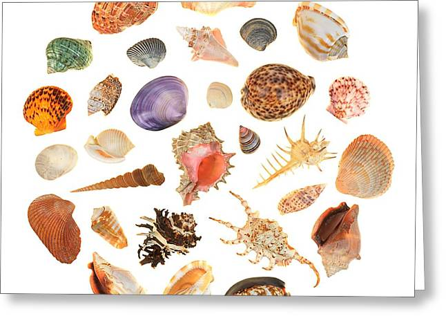 Cone Shells Greeting Cards - Shells Greeting Card by Jim Hughes