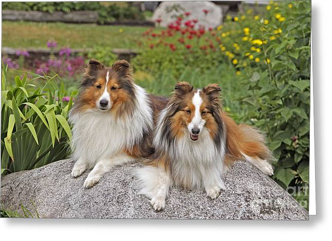 Breeds Greeting Cards - Shetland Sheepdogs Greeting Card by Rolf Kopfle